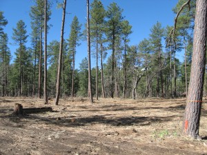 A healthy stand of Ponderosa Pine